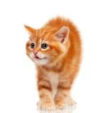 Κόκκινο γατάκι στοκ εικόνες