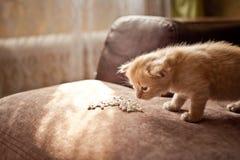 Κόκκινο γατακιών Κόκκινο γατακιών Κόκκινο γατακιών Στοκ Φωτογραφία
