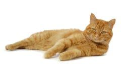 κόκκινο γατών Στοκ Εικόνες