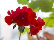 Κόκκινο γεράνι Στοκ εικόνες με δικαίωμα ελεύθερης χρήσης