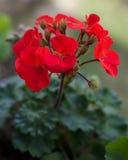 κόκκινο γερανιών κήπων Στοκ εικόνα με δικαίωμα ελεύθερης χρήσης