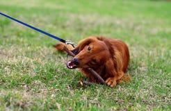 Κόκκινο γερμανικό σκυλί ασβών πιπεροριζών στον περίπατο Στοκ φωτογραφία με δικαίωμα ελεύθερης χρήσης
