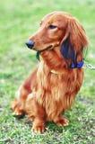 Κόκκινο γερμανικό σκυλί ασβών πιπεροριζών Στοκ φωτογραφία με δικαίωμα ελεύθερης χρήσης