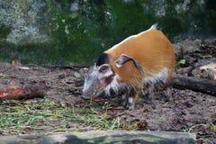 Κόκκινο γουρούνι 1 ποταμών Στοκ Φωτογραφίες