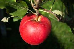 κόκκινο γλυκό μήλων Στοκ φωτογραφίες με δικαίωμα ελεύθερης χρήσης