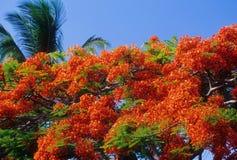 κόκκινο δέντρο λουλου&del στοκ εικόνα με δικαίωμα ελεύθερης χρήσης