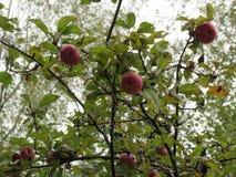 κόκκινο δέντρο μήλων μήλων Στοκ φωτογραφίες με δικαίωμα ελεύθερης χρήσης