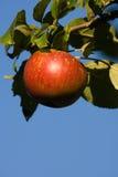 κόκκινο δέντρο μήλων Στοκ φωτογραφία με δικαίωμα ελεύθερης χρήσης