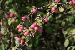 Κόκκινο δέντρο μηλιάς καβουριών Στοκ φωτογραφίες με δικαίωμα ελεύθερης χρήσης