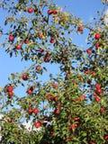 Κόκκινο δέντρο μηλιάς στο vilage μου στοκ φωτογραφίες με δικαίωμα ελεύθερης χρήσης