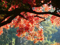 κόκκινο δέντρο σφενδάμνο&upsil Στοκ Εικόνες