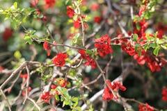Κόκκινο δέντρο της Apple στον εξωραϊσμό Στοκ Φωτογραφία
