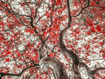 Κόκκινο δέντρο φύλλων Στοκ φωτογραφίες με δικαίωμα ελεύθερης χρήσης