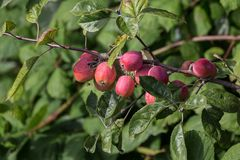 Κόκκινο δέντρο crabapples Στοκ φωτογραφία με δικαίωμα ελεύθερης χρήσης