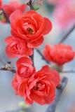 κόκκινο δαμάσκηνων ανθών Στοκ εικόνες με δικαίωμα ελεύθερης χρήσης