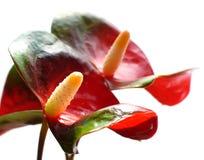 κόκκινο δύο anturium Στοκ Εικόνα