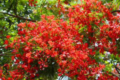 κόκκινο εγκαταστάσεων δέντρων λουλουδιών pulcherrima caesalpinia Στοκ φωτογραφία με δικαίωμα ελεύθερης χρήσης