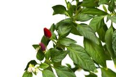 Κόκκινο εγκαταστάσεων σπιτιών - καυτό πιπέρι flowerpot που απομονώνεται στο άσπρο υπόβαθρο στοκ φωτογραφία