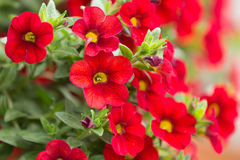 Κόκκινο εκατομμύριο λουλούδι κουδουνιών Στοκ Φωτογραφία