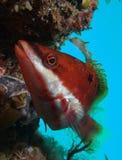 Κόκκινο ενωμένο Wrasse (biserialis Pseudolabrus) Στοκ εικόνα με δικαίωμα ελεύθερης χρήσης