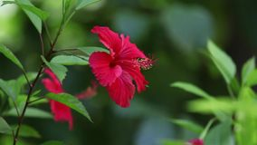 Κόκκινο εξωτικό λουλούδι με τα πράσινα φύλλα σε έναν κήπο απόθεμα βίντεο
