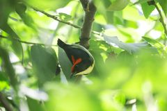 Κόκκινο επικεφαλής καναρίνι στο δέντρο στοκ εικόνες με δικαίωμα ελεύθερης χρήσης