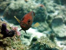 Κόκκινο επισημασμένο Grouper Στοκ Φωτογραφίες