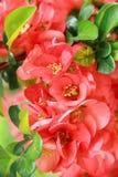 Κόκκινο ερυθρό λουλούδι Henomesel Στοκ Φωτογραφία