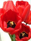 κόκκινο λευκό τουλιπών &alph Στοκ εικόνες με δικαίωμα ελεύθερης χρήσης