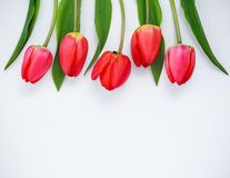 κόκκινο λευκό τουλιπών &alpha Στοκ φωτογραφίες με δικαίωμα ελεύθερης χρήσης