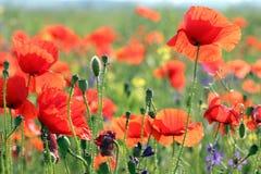 Κόκκινο ελατήριο λιβαδιών λουλουδιών παπαρουνών Στοκ εικόνες με δικαίωμα ελεύθερης χρήσης
