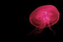 κόκκινο ζελατίνας Στοκ Φωτογραφίες