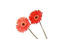 Κόκκινο ζευγάρι λουλουδιών μαργαριτών Στοκ εικόνες με δικαίωμα ελεύθερης χρήσης