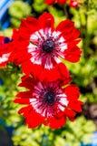 Κόκκινο ζευγάρι λουλουδιών Στοκ Φωτογραφίες