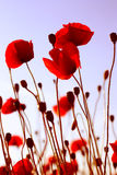 κόκκινο ζιζάνιο Στοκ εικόνα με δικαίωμα ελεύθερης χρήσης