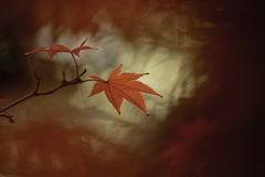Κόκκινο ιαπωνικό φύλλο σφενδάμου Στοκ εικόνα με δικαίωμα ελεύθερης χρήσης