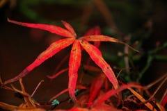 Κόκκινο ιαπωνικό φύλλο Acer Linearilobum σφενδάμνου Στοκ εικόνα με δικαίωμα ελεύθερης χρήσης