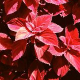 Κόκκινο διευθυνμένο Coleus στοκ εικόνα με δικαίωμα ελεύθερης χρήσης