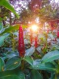Κόκκινο ινδικό επικεφαλής λουλούδι πιπεροριζών στον κήπο Στοκ Εικόνες