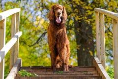 Κόκκινο ιρλανδικό σκυλί ρυθμιστών Στοκ Φωτογραφίες