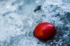 Κόκκινο ισχίο στο λειωμένο χιόνι στο χειμερινό δάσος Στοκ φωτογραφίες με δικαίωμα ελεύθερης χρήσης
