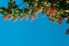 Κόκκινο κάστανο ενάντια Στοκ Εικόνες