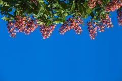 Κόκκινο κάστανο ενάντια Στοκ Φωτογραφίες