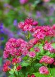 κόκκινο κήπων λουλουδ&iota στοκ εικόνες με δικαίωμα ελεύθερης χρήσης