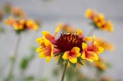 Κόκκινο κίτρινο λουλούδι aristata Gaillardia στην άνθιση Στοκ Εικόνες