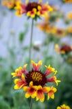 Κόκκινο κίτρινο λουλούδι aristata Gaillardia στην άνθιση Στοκ Εικόνα