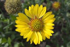 Κόκκινο κίτρινο λουλούδι aristata Gaillardia στην άνθιση Στοκ φωτογραφία με δικαίωμα ελεύθερης χρήσης