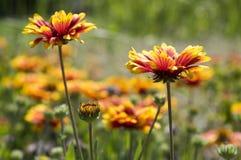Κόκκινο κίτρινο λουλούδι aristata Gaillardia στην άνθιση Στοκ φωτογραφίες με δικαίωμα ελεύθερης χρήσης