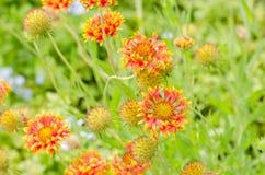 Κόκκινο κίτρινο λουλούδι aristata Gaillardia στον κήπο Στοκ Φωτογραφίες