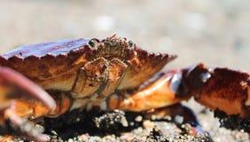 Κόκκινο καβούρι στην παραλία Στοκ φωτογραφίες με δικαίωμα ελεύθερης χρήσης